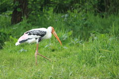 Yellow-billed stork Royalty Free Stock Image