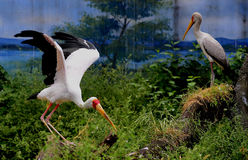 Yellow-billed Stork Stock Photography