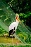 Yellow-billed is stork walking on green grass near the pond Stock Photo