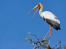 Yellow Billed Stork. This stork was photographed in Kruger national Park, South Africa. It had just been chased by two Fish Eagles (probably territorial) and sat Royalty Free Stock Photos