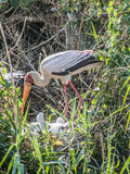 Yellow Billed Stork Watching Over Her Young Royalty Free Stock Photography