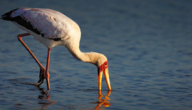 Yellow-billed stork in water Royalty Free Stock Images