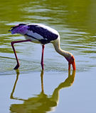 Yellow-billed Stork Stock Photos