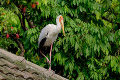 Yellow-billed storke. On the roof Royalty Free Stock Photography