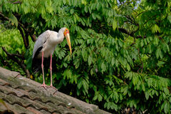Yellow-billed storke on the roof. Green forest Royalty Free Stock Image