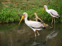 Yellow-billed storks Royalty Free Stock Image