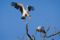 Yellow billed storks Royalty Free Stock Photo