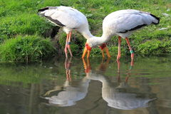Yellow-billed storks Royalty Free Stock Photography