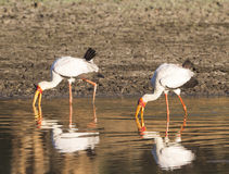 Yellow-billed storks fishing. Two yellow-billed storks fishing Royalty Free Stock Photos