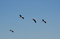 Yellow-billed storks Stock Photography