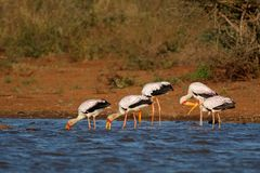 Yellow-billed storks foraging - Kruger National Park. Yellow-billed storks Mycteria ibis foraging in shallow water, Kruger National Park, South Africa stock photos