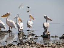 Pelicans at Lake Magadi, Rift Valley, Kenya. A pelicans at Lake Magadi, Rift Valley, Kenya stock photo