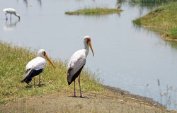 Yellow-billed Storks (Mycteria ibis) Royalty Free Stock Images