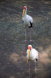 Yellow-billed storks Stock Photos