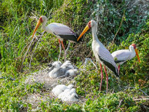 Yellow Billed Storks With Their Young Stock Photography