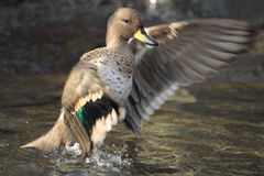 Yellow-billed teal Royalty Free Stock Images