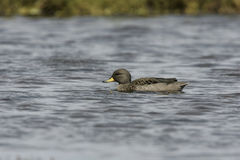 Yellow-billed teal, Anas flavirostris Royalty Free Stock Images
