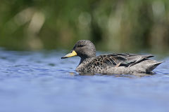 Yellow-billed teal, Anas flavirostris Royalty Free Stock Photo