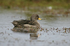 Yellow-billed teal, Anas flavirostris Royalty Free Stock Image