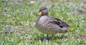 Yellow-billed teal sunning on the lawn Stock Photo