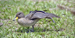 Yellow-billed teal sunning on the lawn Stock Images