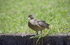 Yellow-billed teal sunning on the lawn Royalty Free Stock Photos