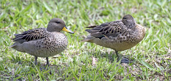 Yellow-billed teal sunning on the lawn Royalty Free Stock Image