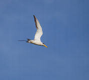 Yellow-billed Tern. Flying over the Amazon Royalty Free Stock Images