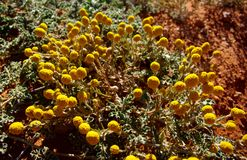 Yellow Billybutton flowers in the Australian Desert. Yellow Billybutton Calocephalus platycephalus flowers, taken near the Sturt Highway in Central Australia royalty free stock photos