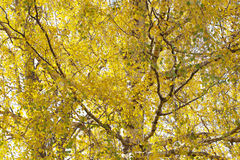 Yellow birch. Stock Images