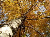 Yellow birch. Birches a sight from below Royalty Free Stock Photo