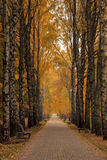 Yellow Birch alley overcast autumn day Stock Photos