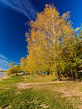 Yellow Birch on the banks of the river Royalty Free Stock Photography