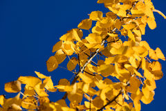 A yellow birch branch and blue sky. A yellow, autumn birch branch contrasting with very blue sky Royalty Free Stock Photo