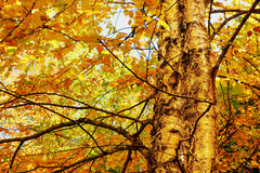 Yellow birch foliage. Yellow birch, Betulas alleghaniensis, dramatic hdr, during fall or autumn Stock Images