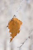Yellow birch leaf Royalty Free Stock Images