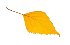 Yellow birch leaf Royalty Free Stock Image