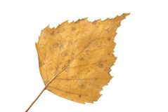 Yellow birch leaf. Isolated over white Royalty Free Stock Photo