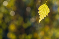 Yellow birch leaf in autumn colouring. With blurred bokeh Stock Photography