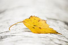 Yellow birch leaf on birch trunk Stock Photos