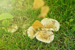 The colors of autumn in the morning scenery. Yellow birch leaf is on the family of white field mushrooms in the green grass Royalty Free Stock Photography