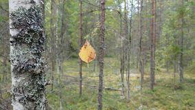 Yellow birch leaf hanging on an invisible cobweb. A shift around a leaf hanging on an invisible web. Lichen covered birch trunk, in the background forest stock video