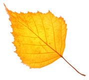 Yellow birch leaf isolated Stock Photos