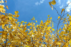 Yellow birch leaves Stock Photos