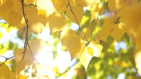 Yellow birch leaves. Autumn bright yellow birch leaves in the sun stock video
