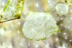 Yellow birch leaves in the autumn cold on the branch under the first snow, autumn landscape, closeup, Stock Images