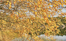 Yellow birch leaves in the autumn on the lake. Hitra, Norway - October 17, 2016: Norwegian scene with colors autumn forest. Windy day. Around the tree and rocks Stock Photos