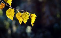 Yellow birch leaves in a backlit Stock Images