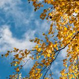 Yellow birch leaves and blue sky Stock Image