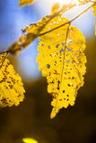 Yellow birch leaves on branch stock images